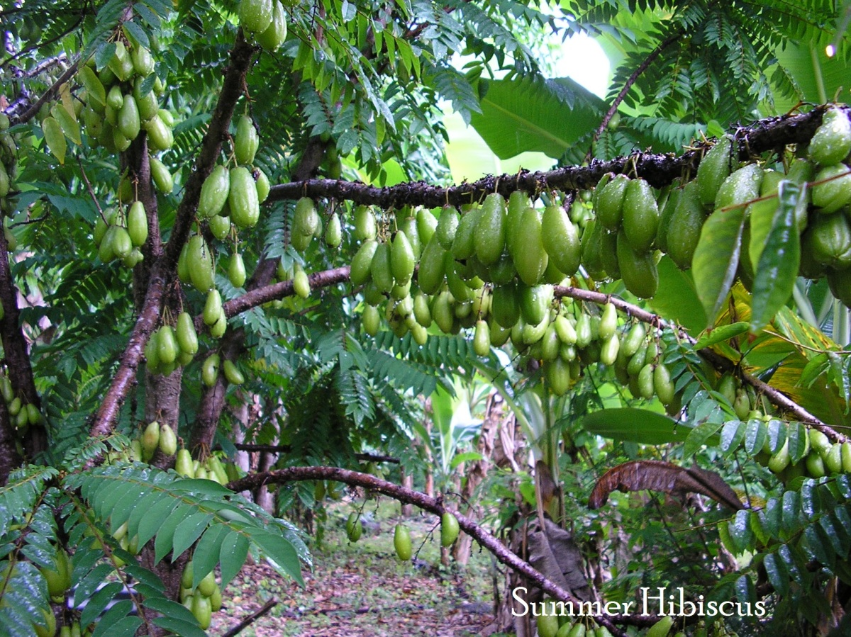 Averrhoa bilimbi PICKLE FRUIT TREE