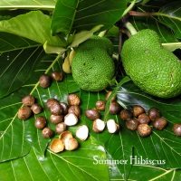 Artocarpus marianensis SEEDED BREADFRUIT NUT TREE