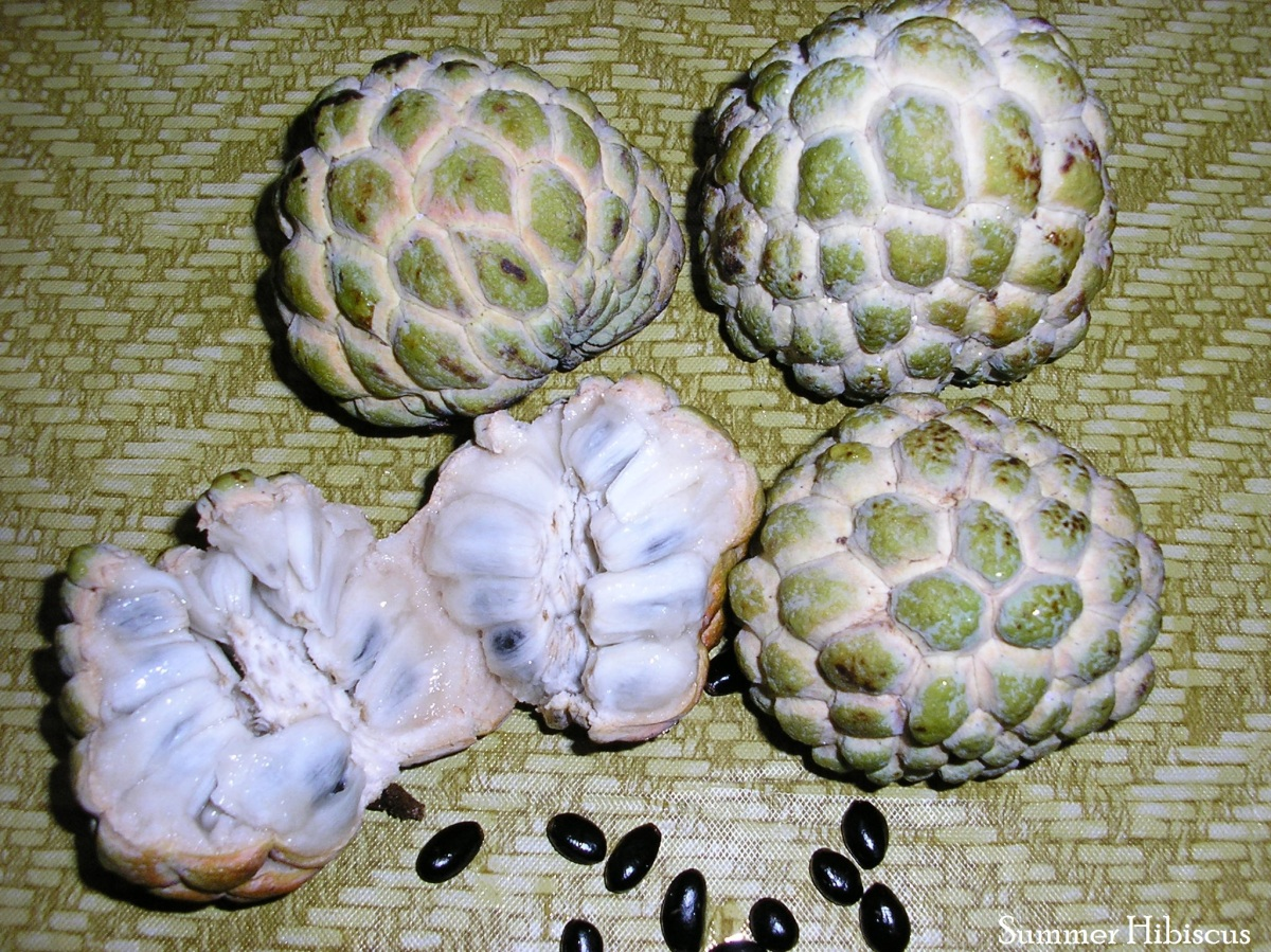 Annona squamosa SUGAR APPLE FRUIT TREE