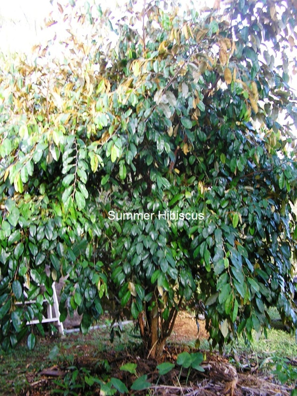 Chrysophyllum cainito STAR APPLE CAIMITO FRUIT TREE ...