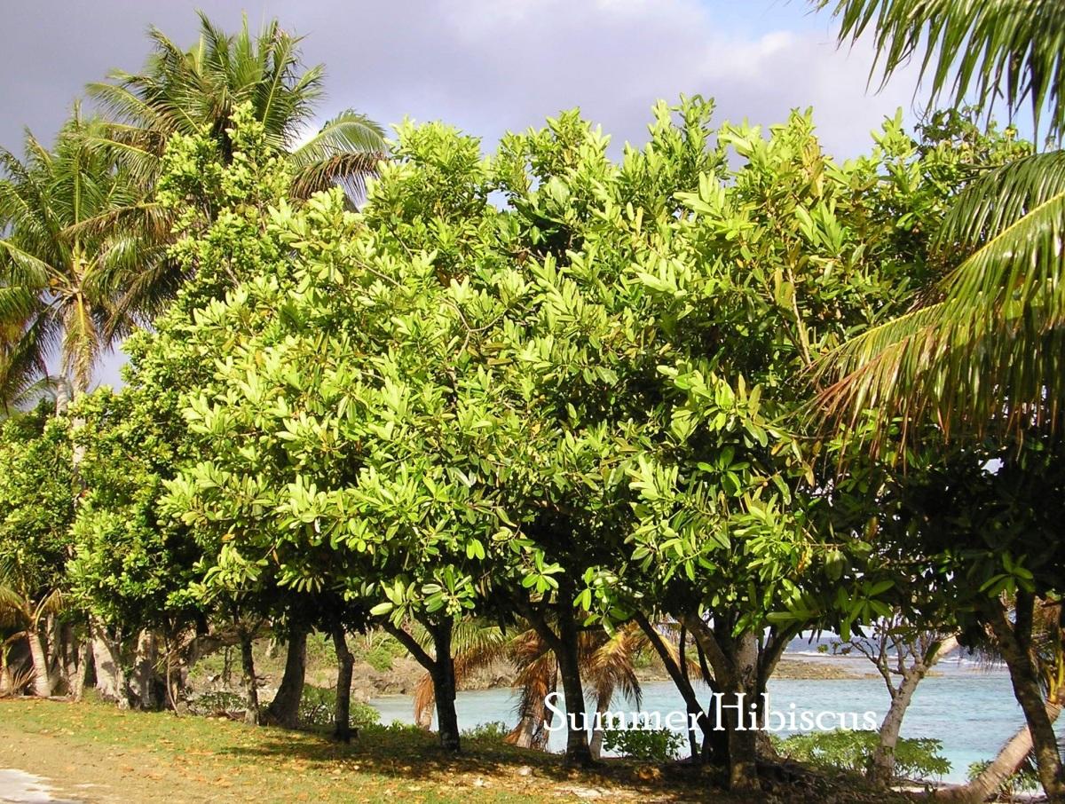 Calophyllum inophyllum BALLNUT TREE