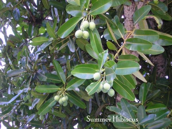 Cinophyllum4