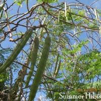 Moringa oleifera MALUNGGAY VEGETABLE TREE