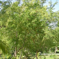 Pithecellobium dulce KAMACHILI FRUIT TREE
