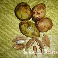 Terminalia catappa ALMOND NUT TREE