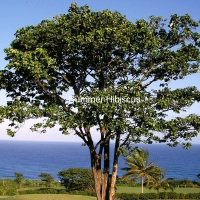 Intsia bijuga MERBAU TREE RARE