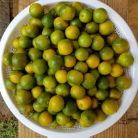 CITRUS LIME CALAMANSI FRUIT TREE